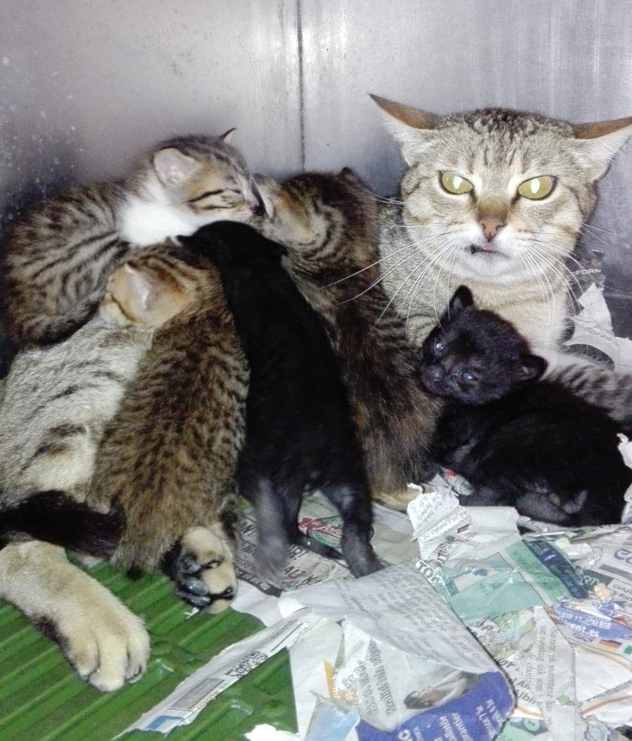 No vamos a intentar convenceros de que la mamá sea sociable, a la vista está 😂pero es una madraza para los 3 suyos y los 4 adoptivos. Sí queréis un gatito se pueden reservar para cuando se desteten.