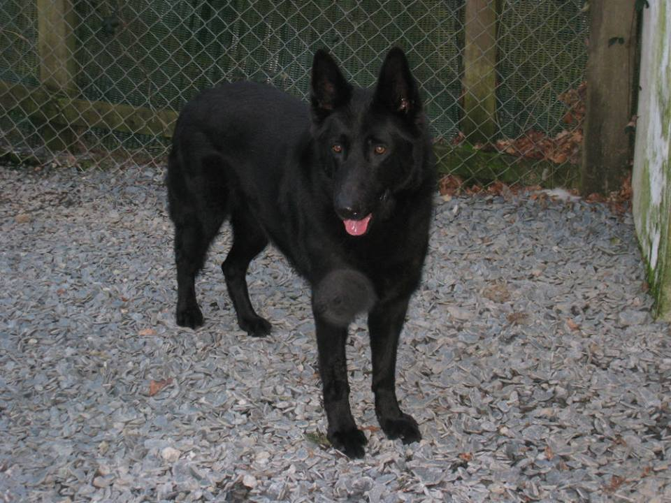 NKOTB is 6yr old Month and this poor lad needs a new home as his dad had a heart attack, he can live with older kids and other #dogs and would fit in with most homes  #GermanShepherd  #Cornwall  http:// gsrelite.co.uk/monty/  &nbsp;  <br>http://pic.twitter.com/LySMcaFz8W