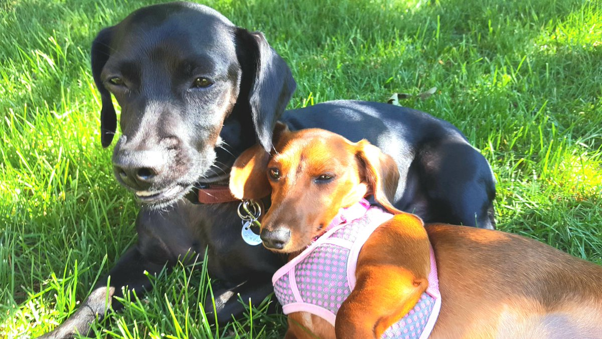 Dis is me and my older nephew Hank. He was wescued fwom Mexico and he was da first doggie visitor in my housh. Wuv at first sight. #dogs #dachshund #throwbackthursday #Tbt #rescuedog #family<br>http://pic.twitter.com/OfoAssDE8V