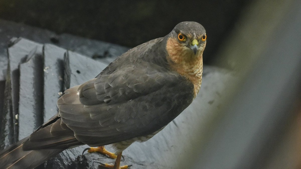 High drama in Port Bannatyne,this Sparrowhawk just made an attempt on the birds on my window feeder but left empty handed  Isle of Bute #ilovebute #birding <br>http://pic.twitter.com/khIz0t3kR1