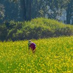 Image for the Tweet beginning: The mustard fields of Punjab