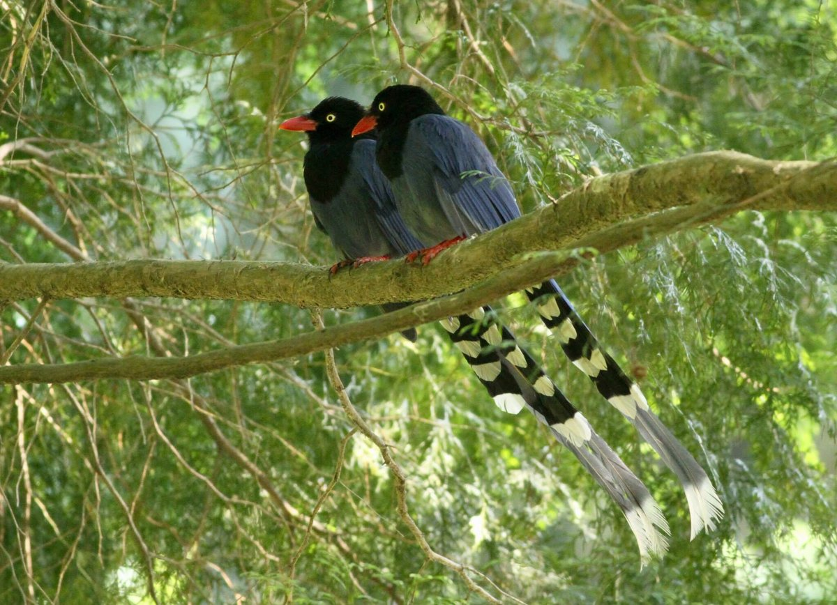 I think there's romance in the air.   #Taiwan Blue-magpies whispering sweet nothings. <br>http://pic.twitter.com/qPgEnMl1ZO