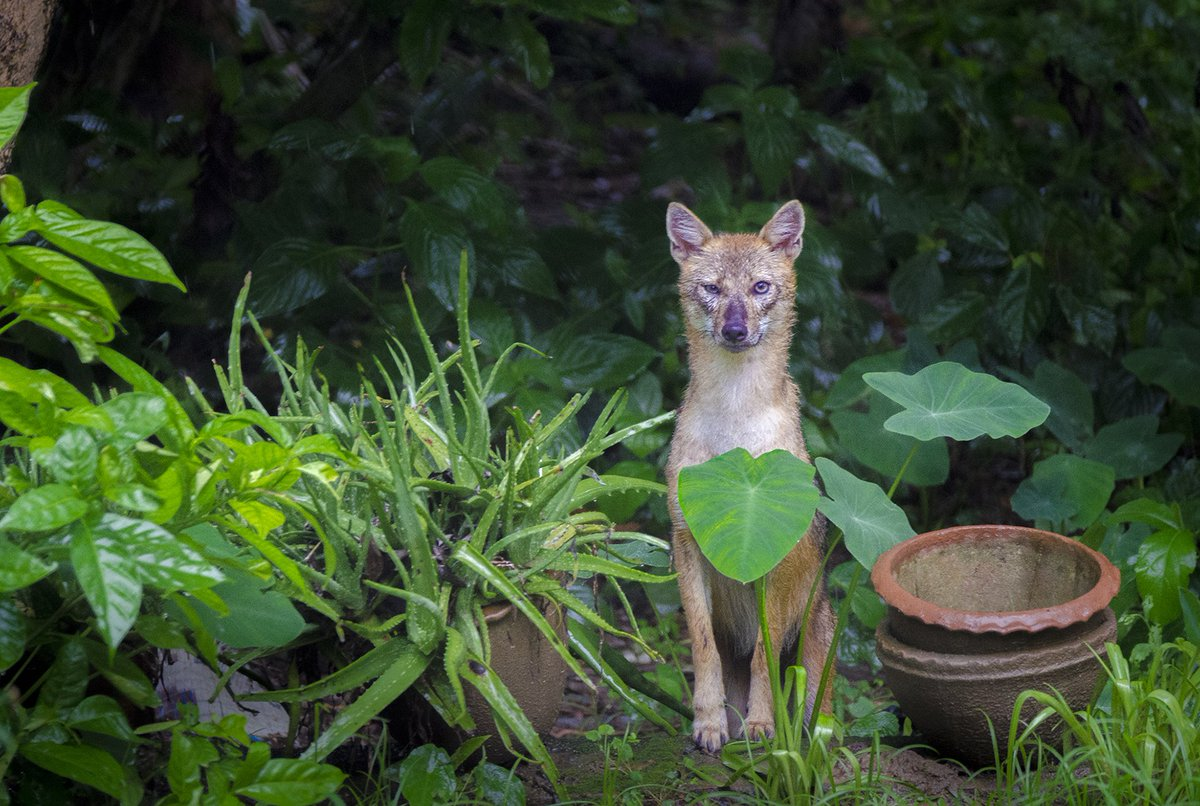 #NiFHiveFeature: An Indian Golden Jackal poses for a picture in the backyard of a home in Tehatta, West Bengal.  Habitat loss in one of the primary reasons for the drastic reduction in population in this canine species.  Photographed by Aparupa Dey.