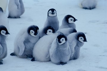 RT @dobutsu_syu: 【皇帝ペンギンのヒナ】  皇帝ペンギンのヒナは集団で 寒さや危険から身を守る為に 群れを作ります。  この行動を『クレイシ』と呼びます。 https://t.co/bkTpCIRoiJ