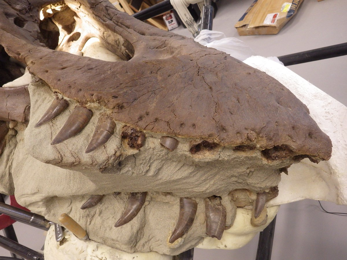 The @burkemuseum Tufts Love rex has a hockey smile right now.  But the teeth will be back at some point.  #fossilfriday <br>http://pic.twitter.com/iINyGEXy25