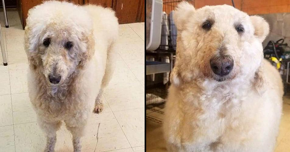 Woman transforms her pet poodle into a polar bear. 😳😂 http://www.ladbible.com/community/weird-groomer-transforms-dog-into-very-realistic-looking-polar-bear-20190322?source=twitter…