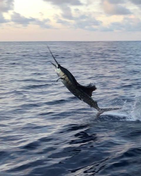 Quepos, CR - Caribsea released 26 Sailfish.