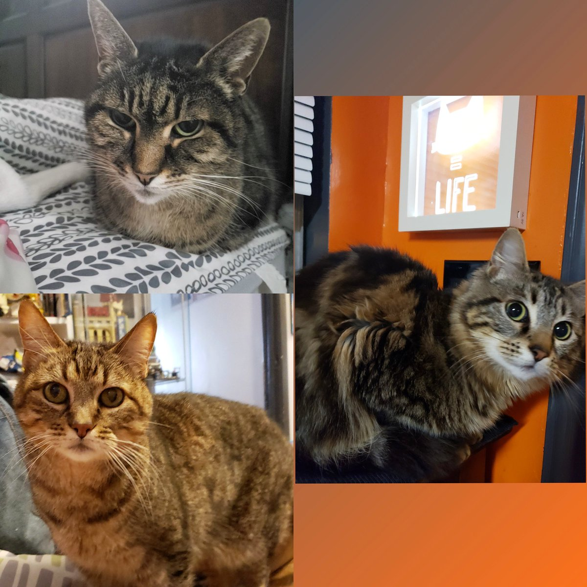 A study in cat loaf.  Our three kitties, from top left going clockwise: Jaina, Mister Mews, and Valentine.  #CatsOnTwitter<br>http://pic.twitter.com/wSVroHxBOT
