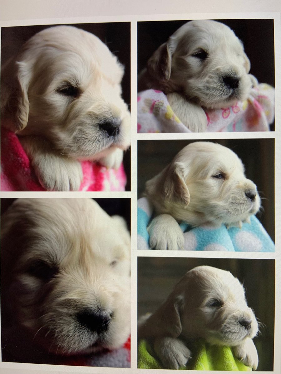 One of these little sweethearts will be our @Huckhound14 puppy Sister. <br>http://pic.twitter.com/rAEPlkHeAb