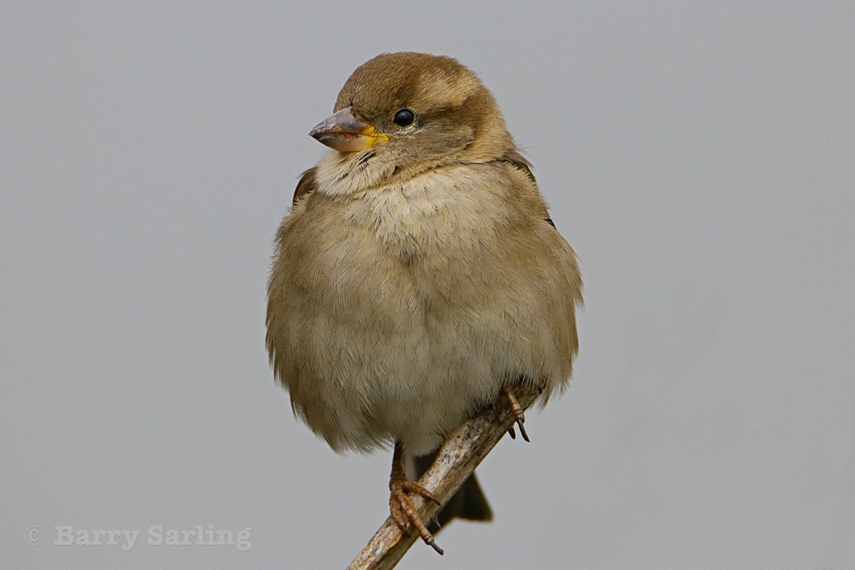 House Sparrow from along the River Crouch 19.03.19. <br>http://pic.twitter.com/H27aq2dLVM