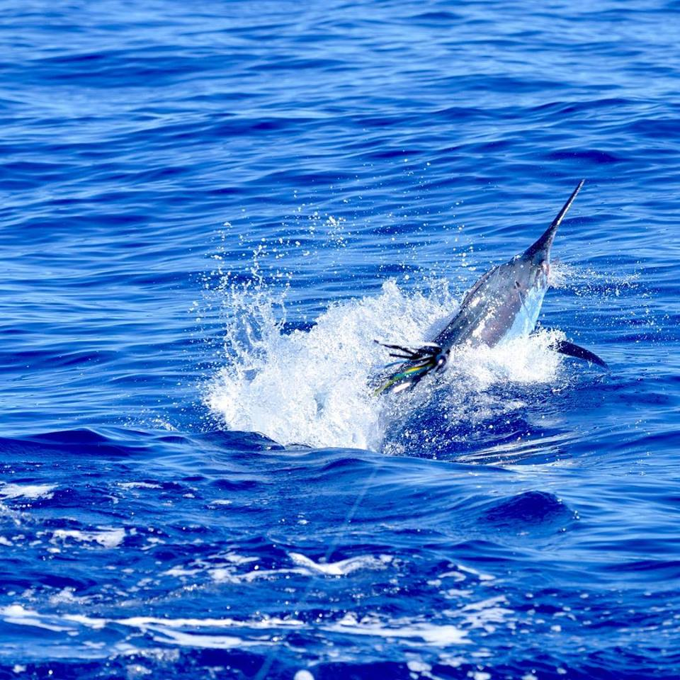 Kona, HI - Hula Girl released a Blue Marlin.