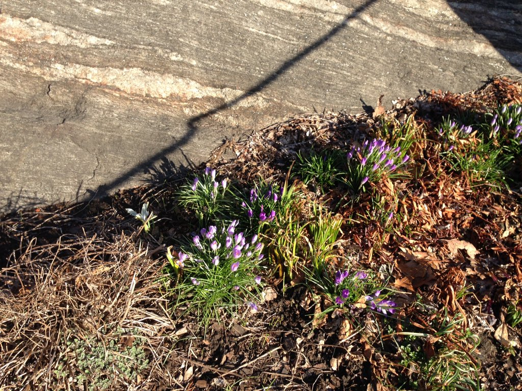 Crocuses are trying hard. Come on, you can do it, crocuses!