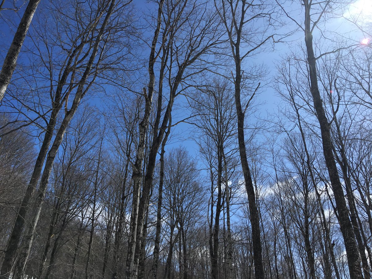 Another perfect spring day in Northern Ontario's maple bush! #ForestFriday #Forest #ForestBathing #ForestTherapy @Forests_Ontario #Spring #maplesyrup