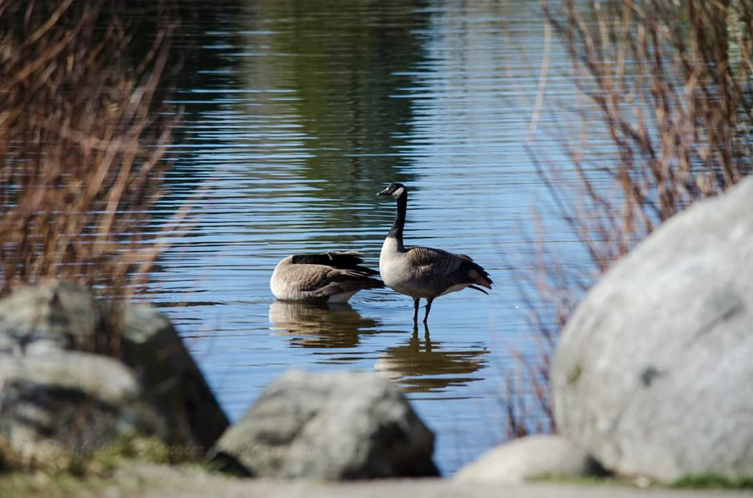 Canadian Geese bask in the early spring warmth. #Photography #naturephotography #birds #nikon #coquitlam #coquitlaminbloom #spring