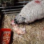 Image for the Tweet beginning: 9.65 kg lamb born last