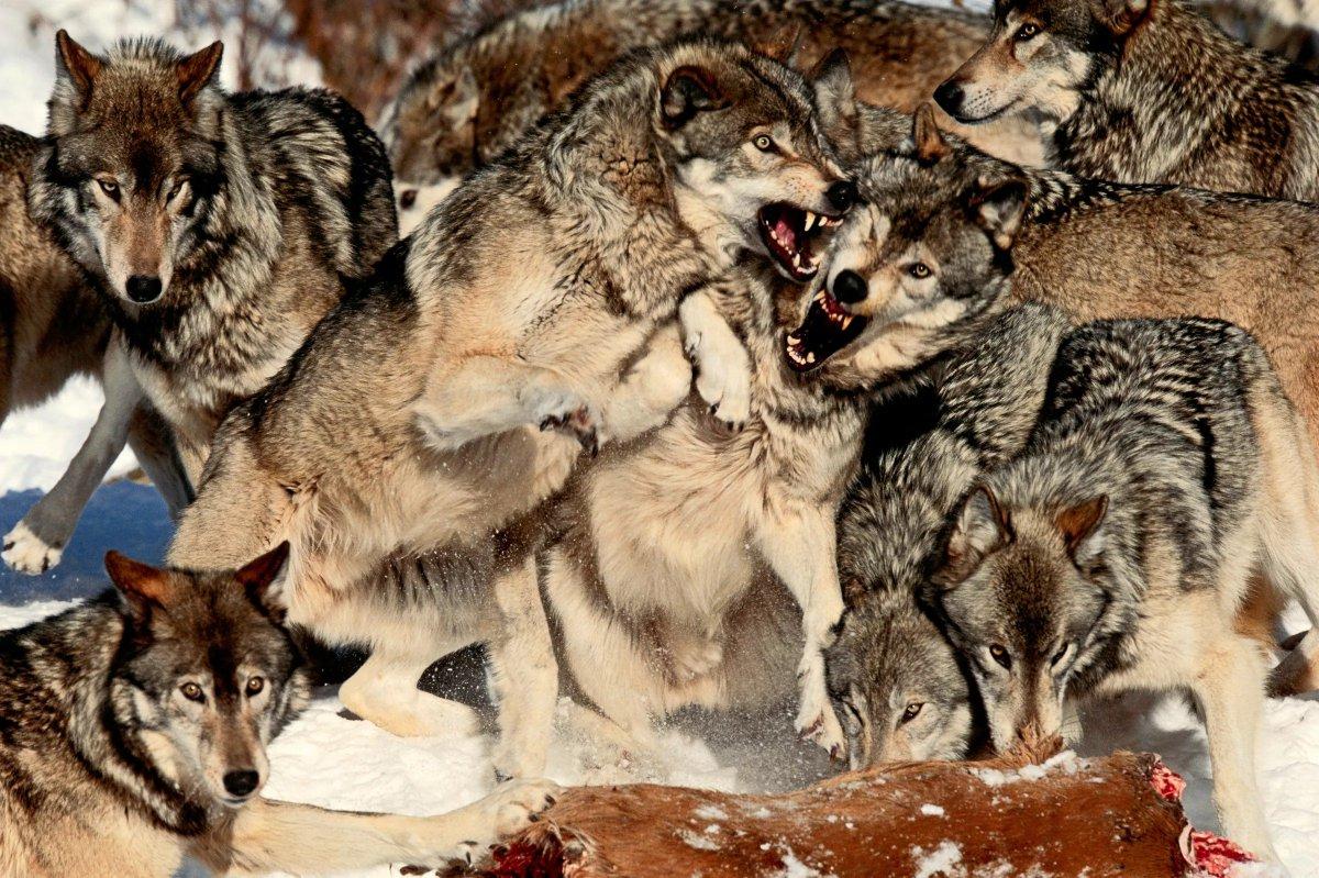 сможете увидеть картинки волк против стаи моллюск кожный