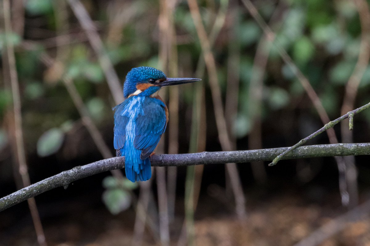 Today was a very busy morning. At one stage we had 4 kingfishers in view. Pick a favourite shot from these three! Please comment and retweet...