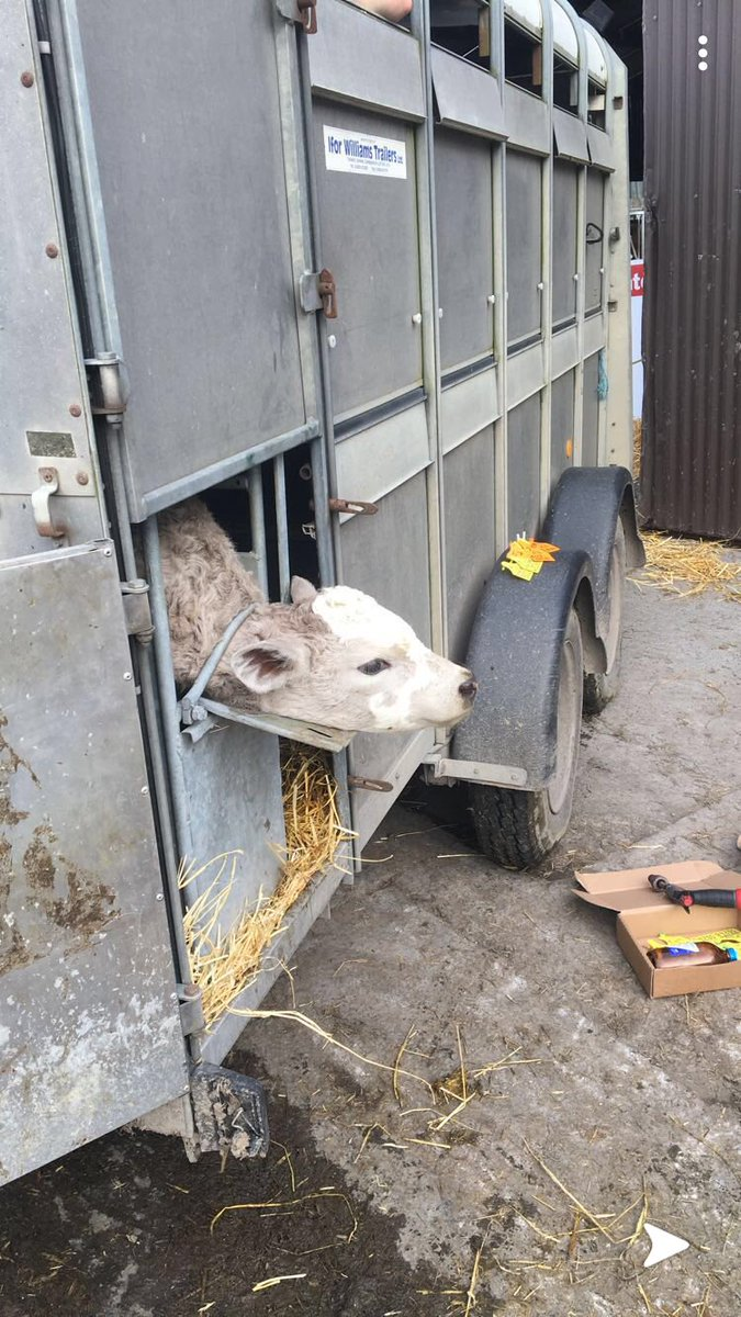 Fair dues to our student @Brendandoyle981 for speeding up the dehorning process also making it easier on my back, simply back into the creep area and load up 10 calves,he vaccinates and I dehorn.. sending him on contract to calf marts next week with this &quot;one stop skulling shop&quot; <br>http://pic.twitter.com/J7HZuR3r3H