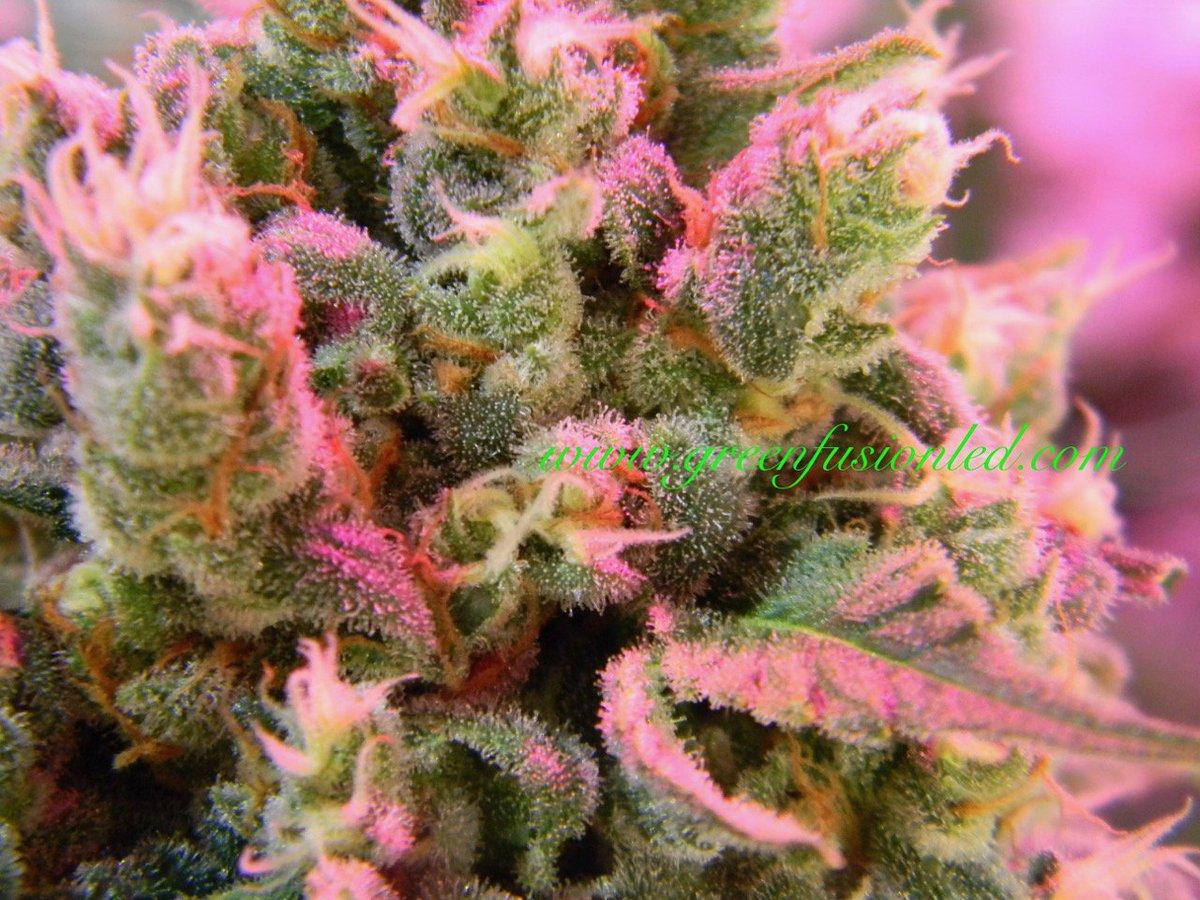 #purplerainsupplementalgrowlight #growyourown #growled #greenfusionled