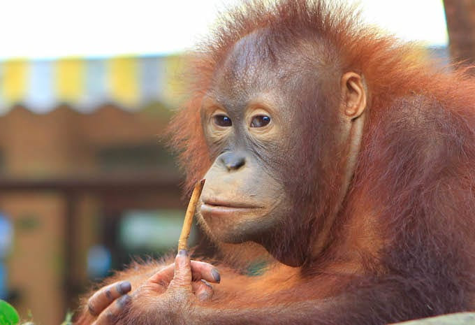 A Russian man was caught trying to smuggle an orangutan on an airplane https://trib.al/CPPDAcp