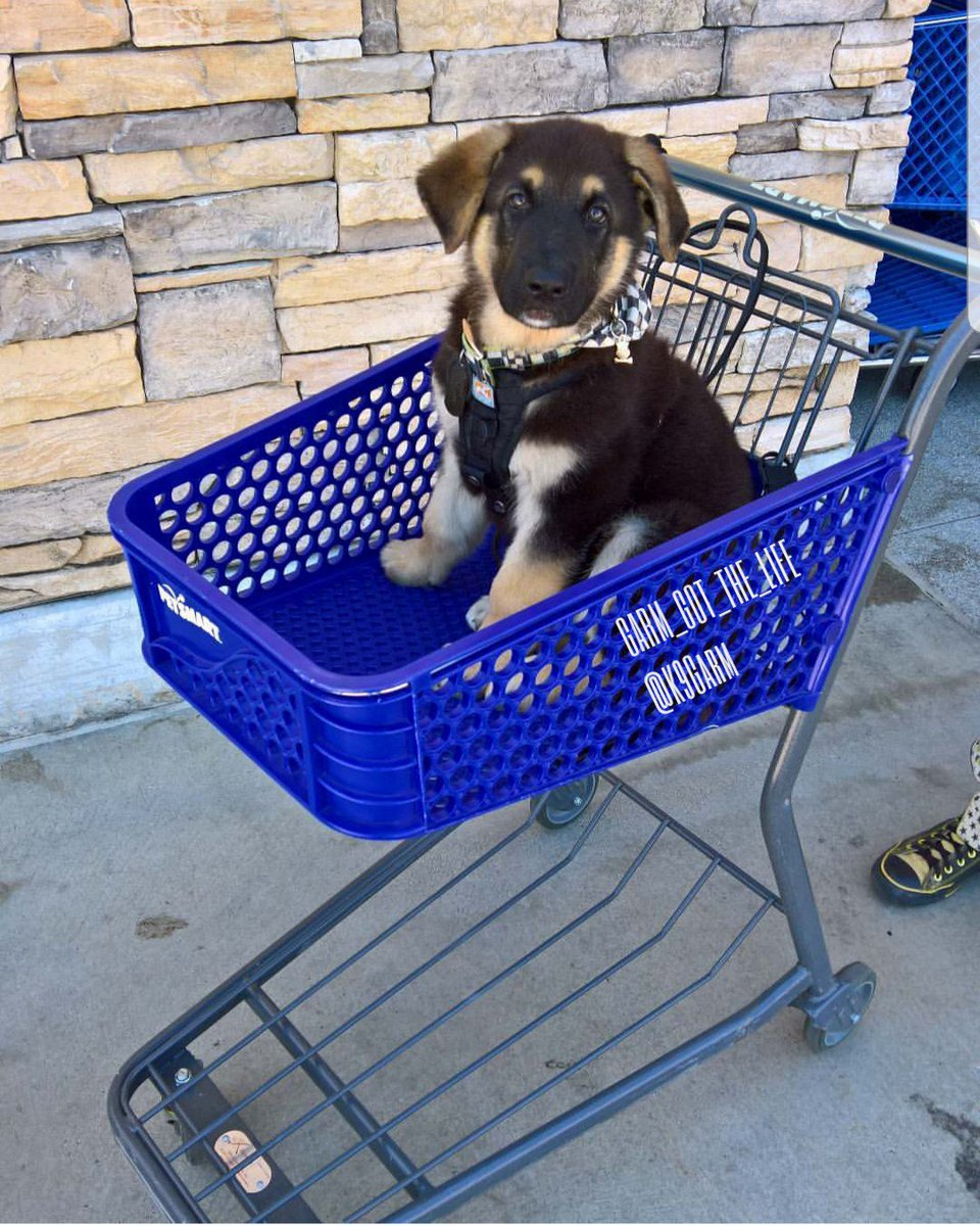 Couldn&#39;t help but to post this one again for #NationalPuppyDay  The #moosedog at around 10 weeks old. Our favorite #Puppy picture of him #K9Garm #SARK9 #dogsoftwitter #dog #dogs #germanshepherd #gsd<br>http://pic.twitter.com/HDwYbOm7ew