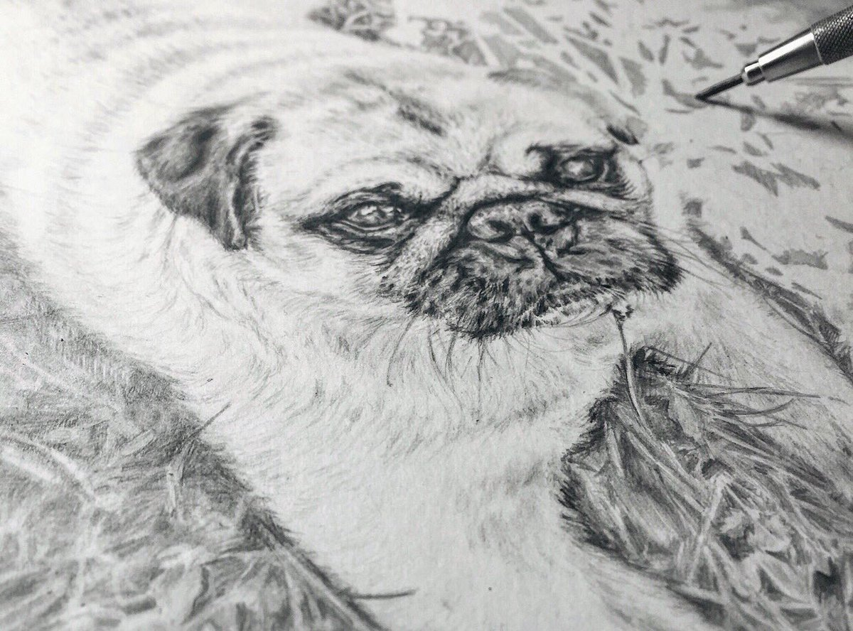 Pencil drawing of pug with pencil, wip