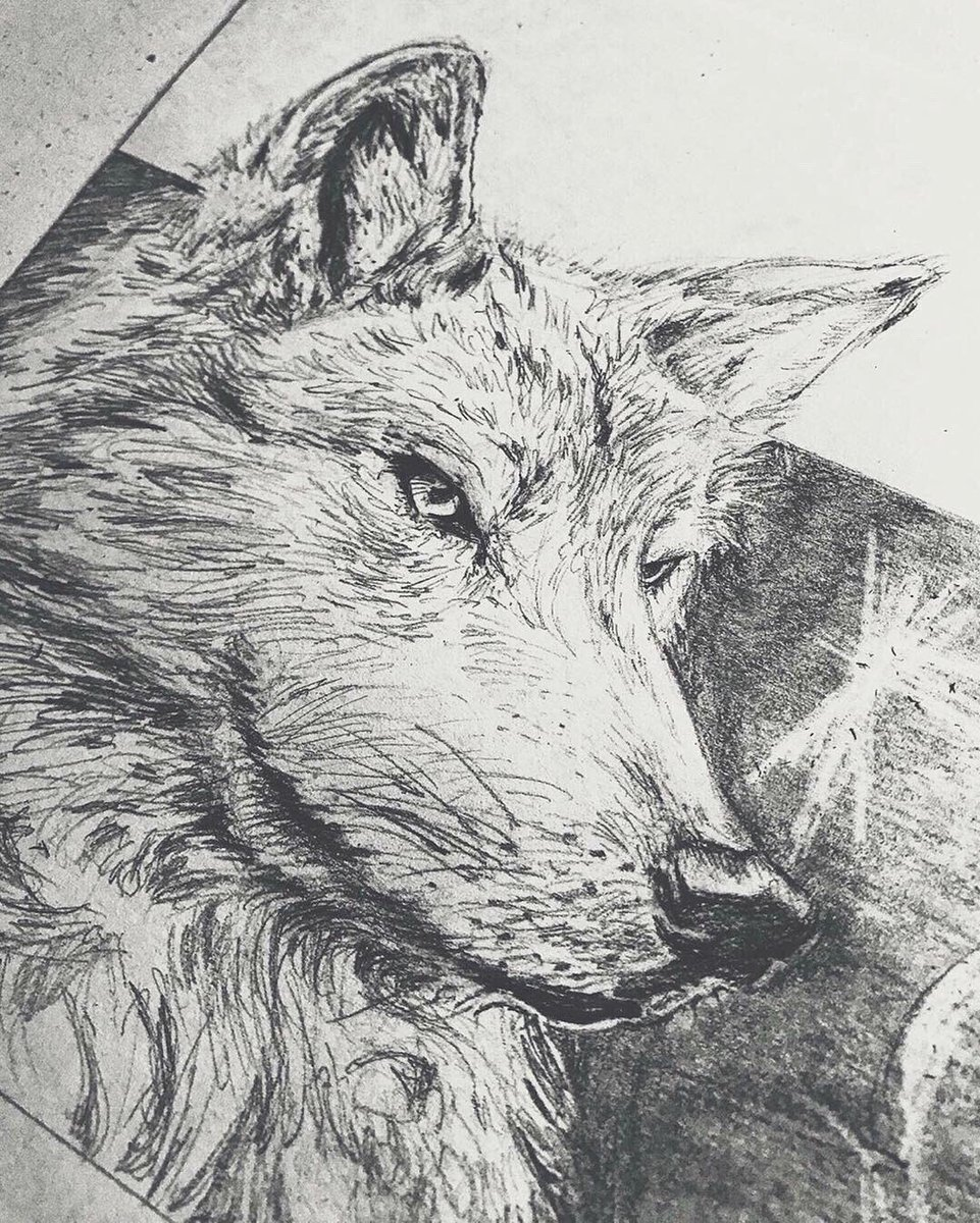 Pencil drawing of wolf