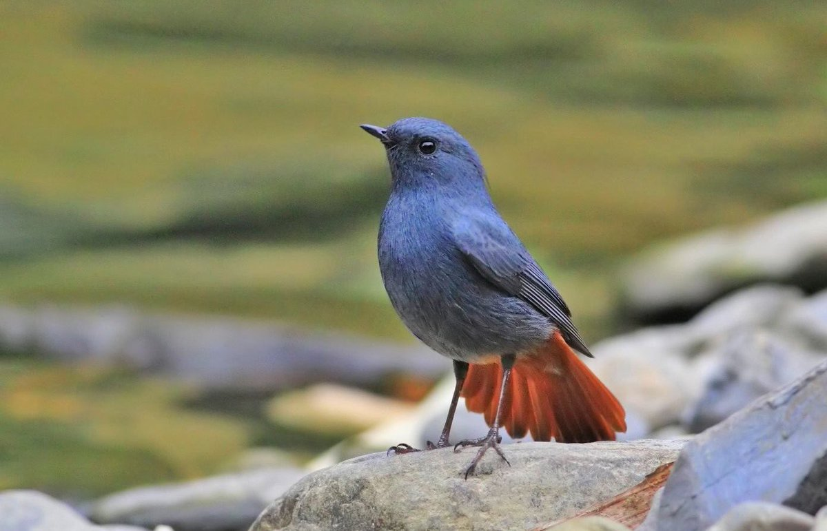 Plumbeous Redstart. Common residents of our mountain streams.   Males are often slaty blue - the color of lead...thus its common name, and the name of the people who fix our water supply - #plumbers.<br>http://pic.twitter.com/pHLaWaDo05
