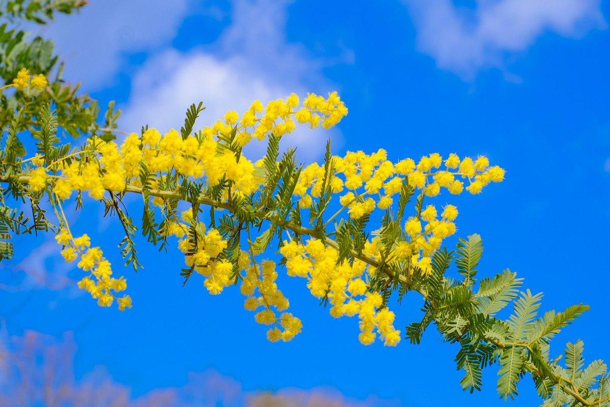 花 ミモザ の