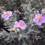 Image for the Tweet beginning: Estepa blanca (Cistus albidus), ben