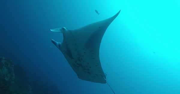 Wanderlust - the sighting of a reef manta ray recorded for first time off the remote Cocos Islands suggests the species may venture further offshore that previous thought.   http:// bit.ly/2WdLUfS  &nbsp;   @LewisJohnWhite #mantaray #explorers<br>http://pic.twitter.com/uZPODDiA0V