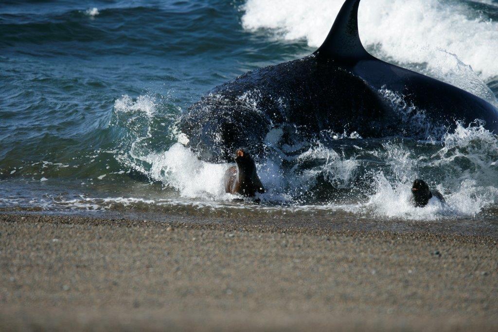 #Turismo | Fotógrafos y documentalistas de tres continentesllegan a #PenínsulaValdés para registrar el varamiento intencional de las orcas. Más info ingresá 👉 https://t.co/IvK5XxhNI2 https://t.co/LWsu24Anmh