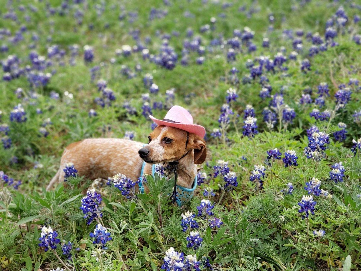 This Cowgirl is swimming in bluebonnets @KVUE @cbsaustin @AustinChronicle #bluebonnets #weinerdog #puppies #dogsoftwitter #doglovers #DOGGOTTI #doggypic.twitter.com/HvPfHSVxjg – at St. Edward's University