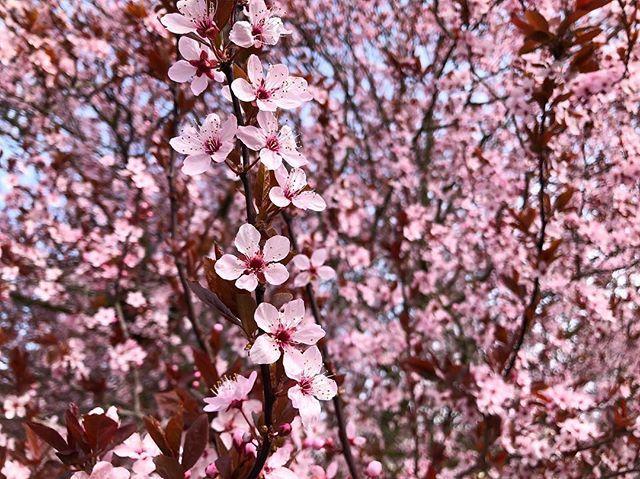 Spring is here 🌸 #cherryblossom #cherryblossoms #seattle #ballard #wa #pnw #sakura #k5spring #spring ift.tt/2uncjMy