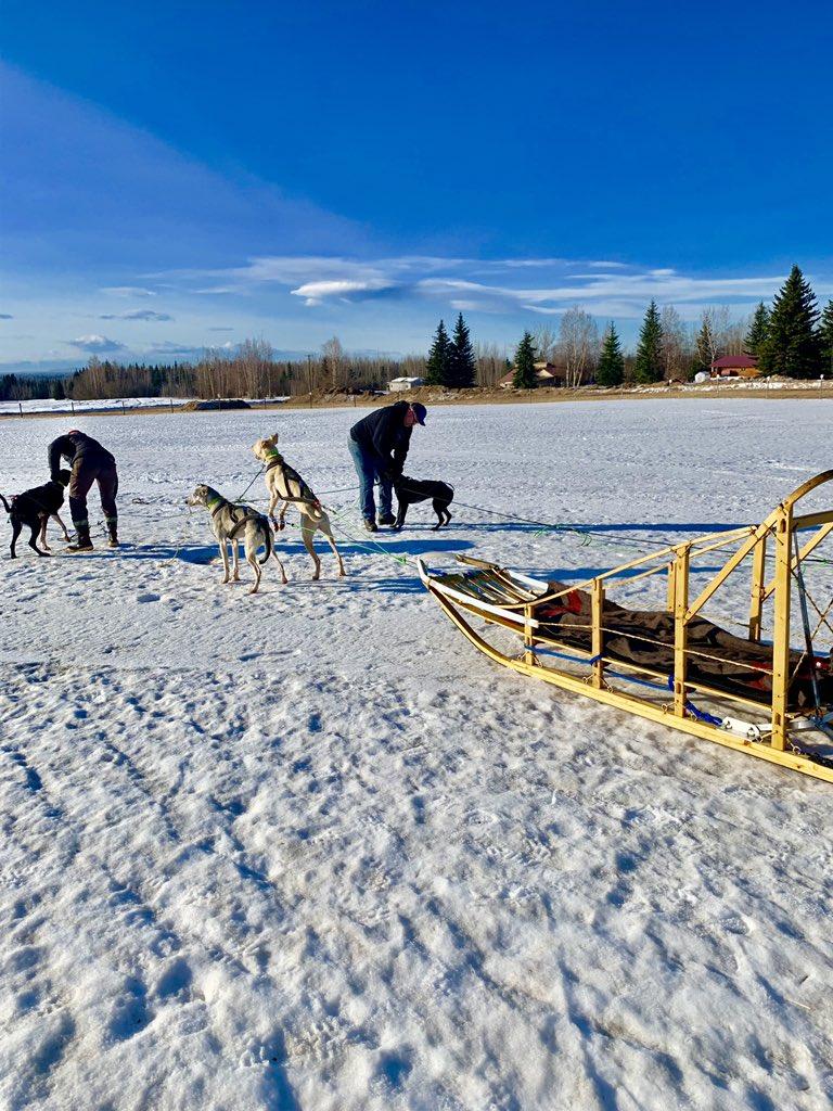 今年のフェアバンクスの春の訪れは早く、毎日0℃±5 (例年はマイナス10数℃)。 犬ぞりも最初に予約したツアーは雪がなくてキャンセルに。今シーズン、ラストチャンスに滑り込みました。 #Fairbanks #フェアバンクス