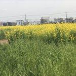 Image for the Tweet beginning: 今日は仕事で埼玉県三芳町に来ております。長閑に菜の花畑が広がっております。 近くのラーメン屋さんで、高校野球見ながらネギ味噌ラーメン、650円を頂きます(^-^)
