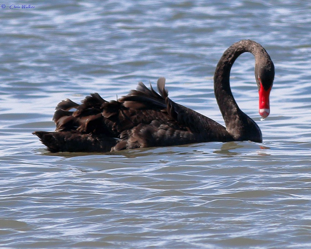Black swans in Ramsar wetlands near Toondah Harbour - an area proposed for environmental destruction and construction of 3,600 apartments. #blackswan  #toondahharbour #moretonbay #ramsarsite #Qldpol #auspol