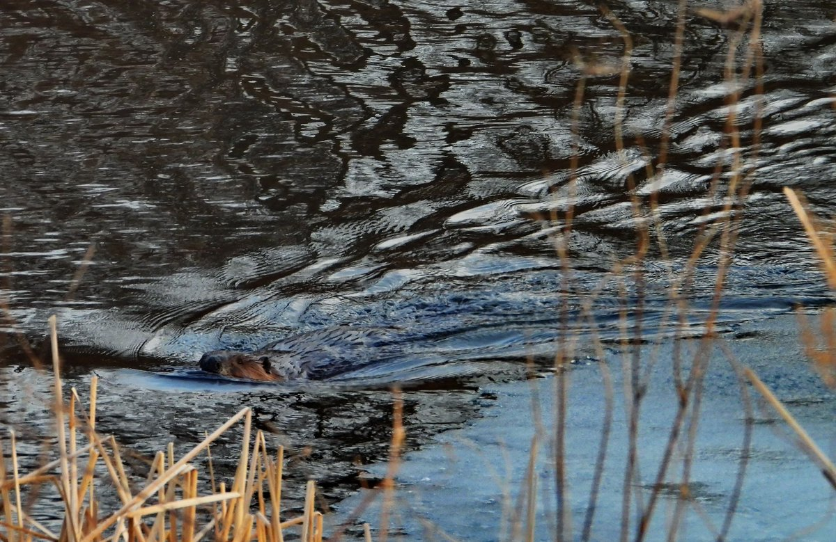 A busy beaver! (photo)