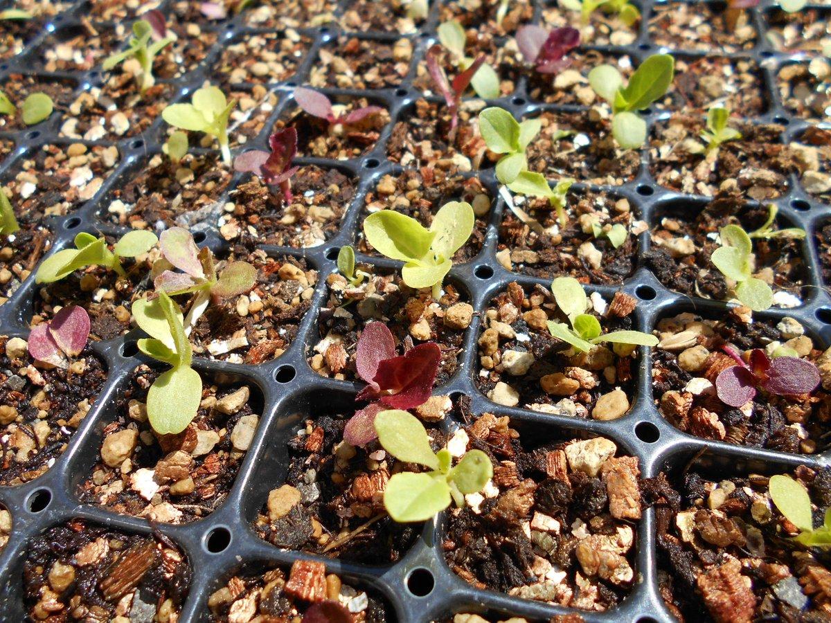test ツイッターメディア - 3/4に蒔いた #ダイソー サラダミックス。 3/26、 サラダミックスを プランターに移植しました。一応、赤葉と青葉と交互に植えてみました。大きくなってきたら、きっとキレイだと思うのよね。日蔭エリアで養生します。最近、レタスは 買ってくるんだけど、やっぱ自家製だよね。https://t.co/NTlmsenAkb https://t.co/MlJbjmjlz9