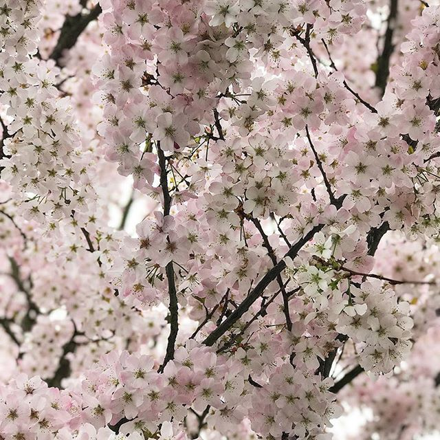 Can't get enough of all the beautiful blossom out there! 🌸❤️🌸❤️🌸 ••• #sesussed #blossoms #treesinblossom #blossomtrees🌸 #landellsroad #se22 #eastdulwich #selondon #loveselondon #selondonliving #spring🌸