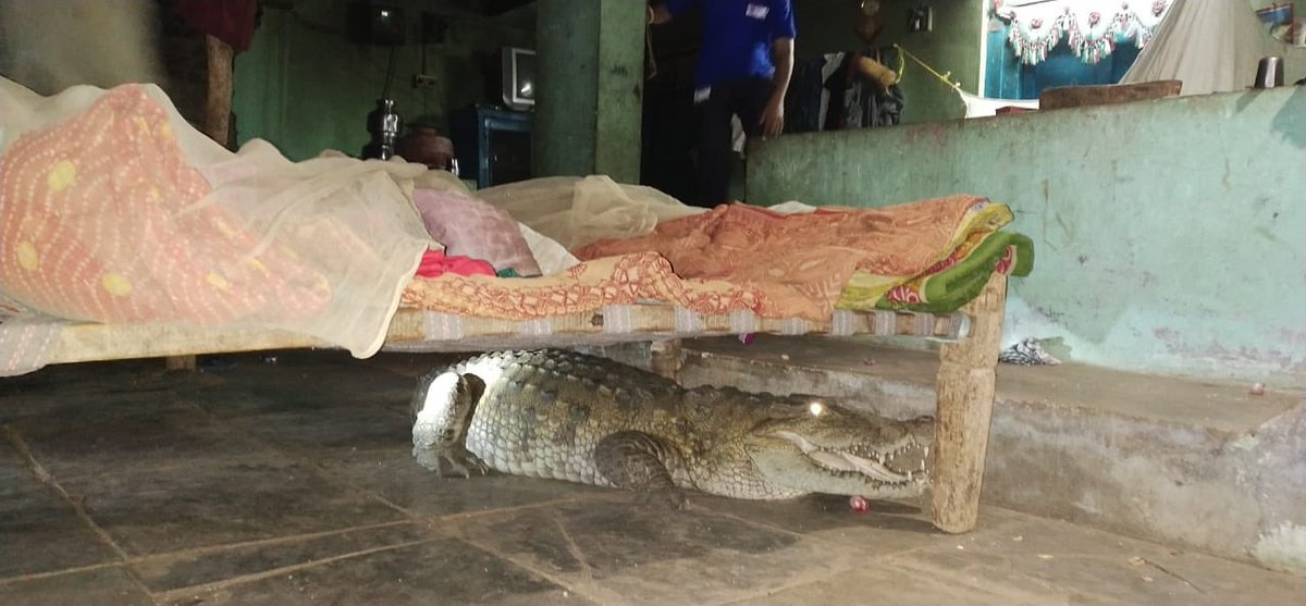 When a family in Central Gujarat found 8-ft crocodile under cot