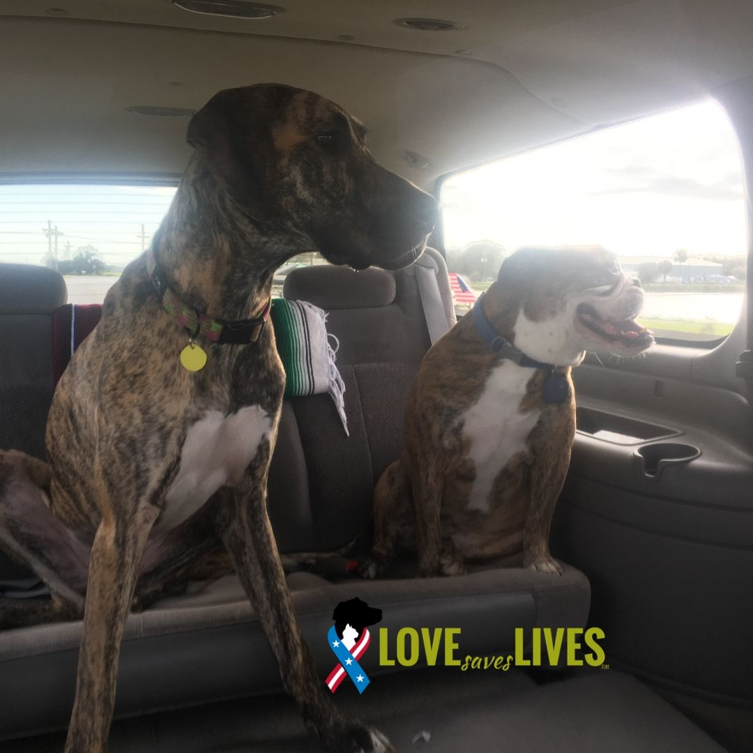 Your #freedomride is always better with another brindle buddy by your side. Congrats to Khaleesi (the big dude) on his adoption to Charles, Afghanistan veteran. Thru our work with @BDRRescue #veterans in our program get a reduced adoption fee of just $50!