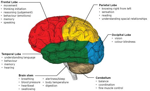 Psychology Parts Of The Brain Labeled - Aflam-Neeeak