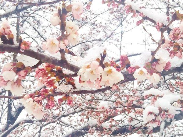 満開が発表された仙台の桜に雪が積もりました