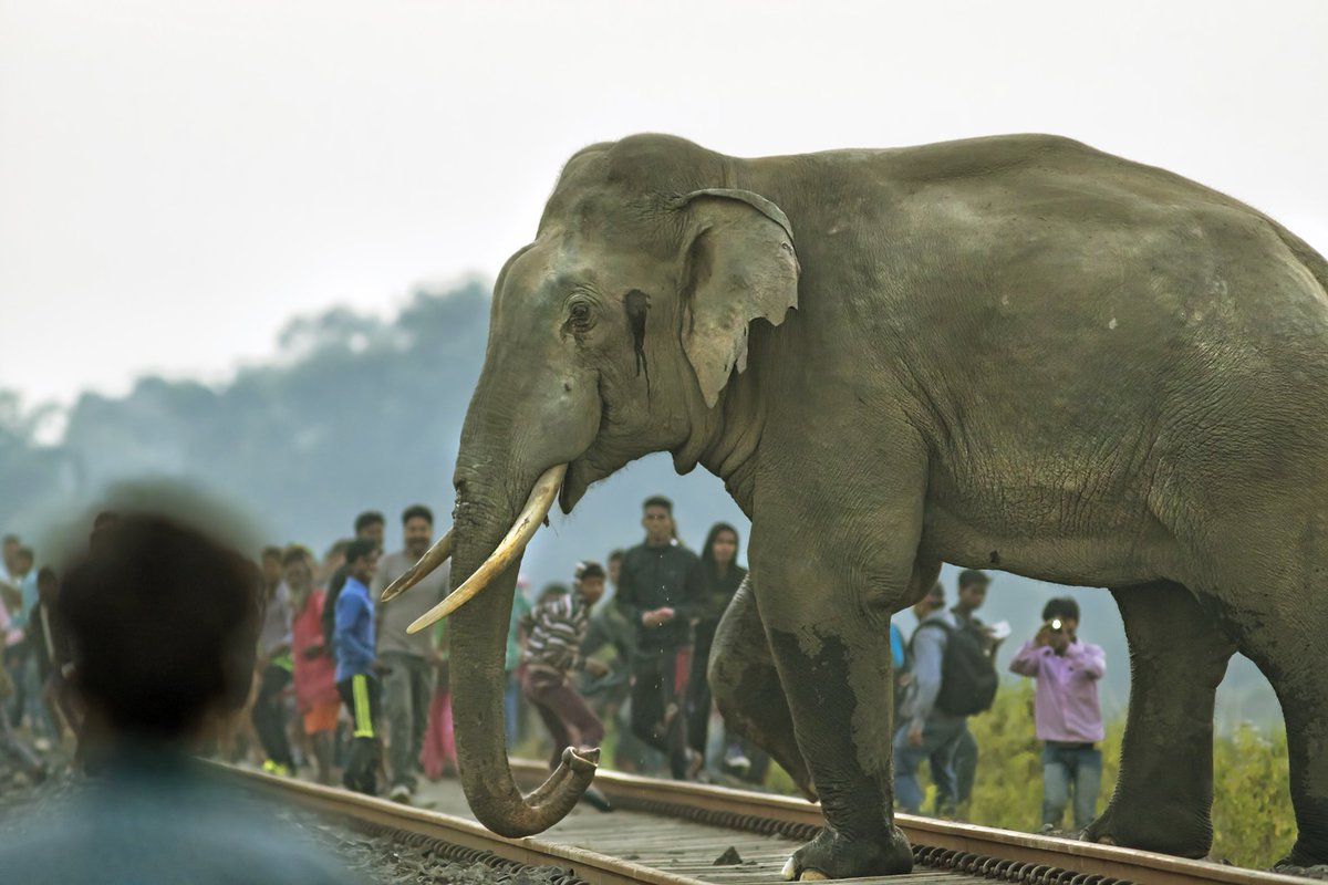 #NiFHiveFeature: Avijan Saha photographed this elephant trying to cross a railway track in Siliguri, West Bengal as onlookers gather around.   Of the 88 identified elephant corridors in India, 21 have railway tracks running through them.