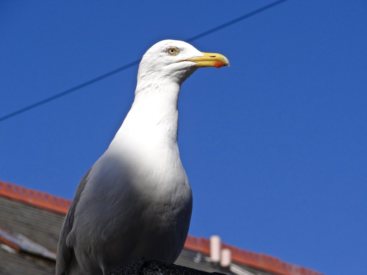 Seagull sitting on the roof #seagull #seabird #bird #proud #nature #wing #wildlife #sky #blue #animal #natural #outdoor #life #freedom #summer #seaside #feather #roof #photooftheday