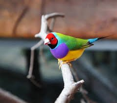 But have you seen the gouldian finch??!