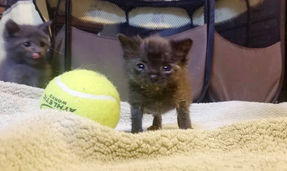 Rescued kitten, size of a tennis ball, has a big meow and is determined to grow. See full story and updates: lovemeow.com/kitten-tiny-re…