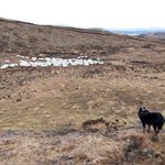 Image for the Tweet beginning: Ewes coming home for lambing. Been