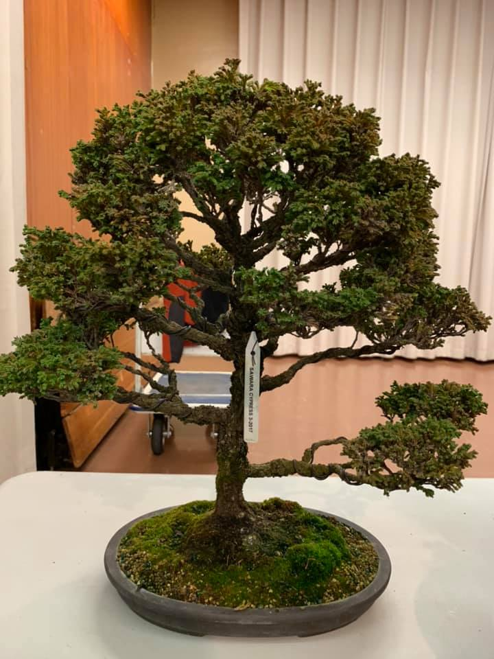 Eastbaybonsai On Twitter Club Member Randall Lee Presented At Yesterday S Bonsai Club Meeting About Hinoki Cypress During The Meeting He Transformed Nursery Stock To The Start Of A Bonsai Tree Https T Co Dsc8p6y0ph